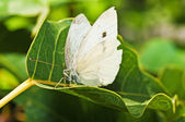 Cabbage butterfly, Pieris brassicae — Stock Photo