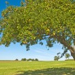 apple tree&quot — Stock Photo