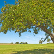 Apple tree — Stock Photo #6578979