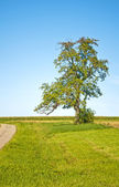 Tree with blue sky and way — Stock Photo