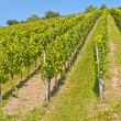 vineyard — Stock Photo #6654137
