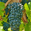 Blue ripe grapes in a vineyard — Stock Photo