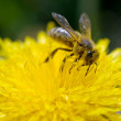 A bee collects — Stock Photo