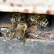 Bees guard — Stock Photo #5779820