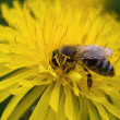 Bee collects — Stock Photo