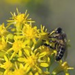 Bee collects nectar — Stock Photo