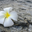 Frangipani — Stock Photo #5931126