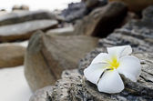 Frangipani — Stok fotoğraf