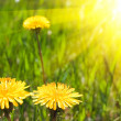 Summer dandelions — Stock Photo