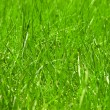 Grass background — Photo