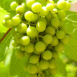 Stock Photo: Green grape