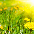 Summer dandelions — Stockfoto
