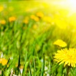 Summer dandelions - Stock Photo