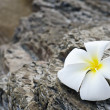 Frangipani — Stock Photo #5986847