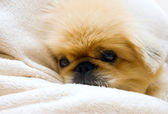 Funny pekingese — Stock Photo