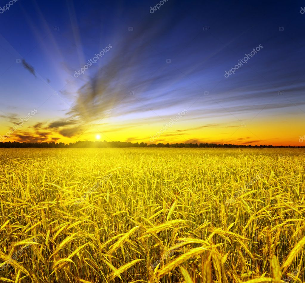 Yellow rye field. Autumn landscape.  Stock Photo #6570929