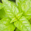 Basil — Stock Photo #6709542