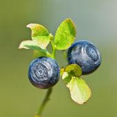 Blueberry — Stockfoto