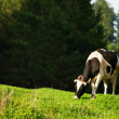 Beige grazing cow — Stock Photo