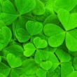 Clover — Stock Photo #6716474