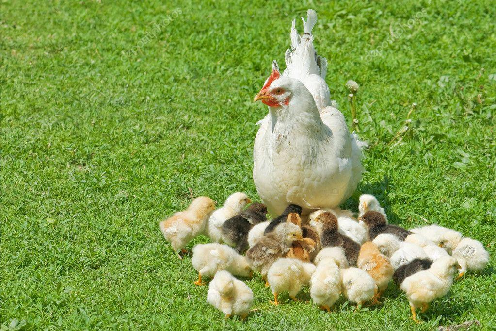 Фото и рисунки цыплят