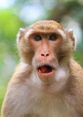 Makaak monkey — Stockfoto