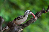 Calao de redbilled — Photo