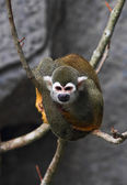 Squirrel monkey — Stock Photo