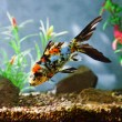 Aquarium fish - Photo