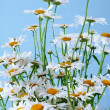 Chamomile bouquet — Stock Photo