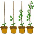 Stock Vector: Growing Plant Stages