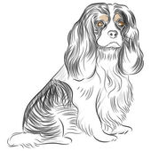 Pure Bred Cavalier King Charles Spaniel Dog Drawing — Stok Vektör