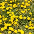 Lawn Covered with Dandelions — Stock Photo #5483541
