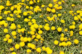 Lawn Covered with Dandelions — Stock Photo