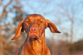Vizsla Dog Portrait in winter. — Stock Photo