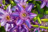 Purple Clematis Flowers — Stock Photo