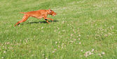 Vizsla Dog Running in the Grass — Stock Photo