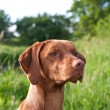 Closeup Portrait of a Vizsla Dog — Stock Photo