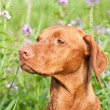 Stock Photo: Closeup Portrait of a Vizsla Dog with Wildflowers