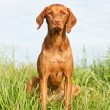 Closeup Portrait of a Vizsla Dog with Wildflowers — Stock Photo