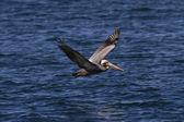 Pacific bruine pelikaan — Stockfoto