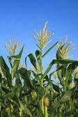 Цветок зерна — Стоковое фото