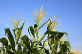 Drie maïs bloem — Stockfoto