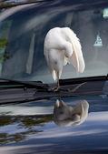Egret on a Car — Stock Photo