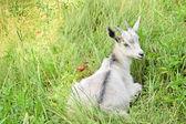 年轻的白山羊 — 图库照片