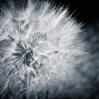 The dandelion. Cyan toned photo — Stock Photo