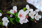 Cherry Blossom — Foto de Stock