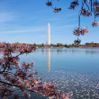 Washington monument and Cherry blossom, Washington DC — Stock Photo