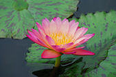 Water lily and green leaves — Stock Photo