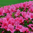 Azalea — Stock Photo #5838581